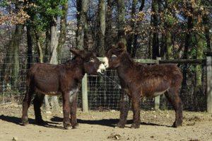 Ane - Baudet du Poitou - Zoo de Peaugres