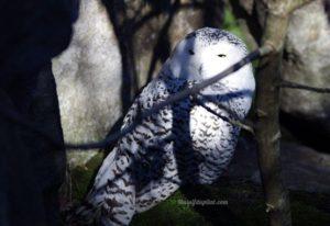 Chouette Harfang - Zoo de Peaugres