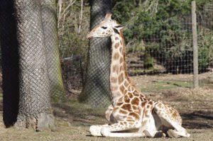 Girafe au Zoo de Peaugres