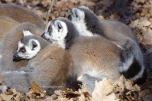 Lémuriens Maki Catta - Safari de Peaugres