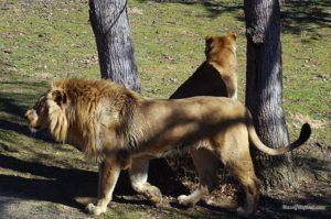 Un lyon et une lionne au safari de Peaugres