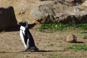 Machot du cap au zoo de Peaugres