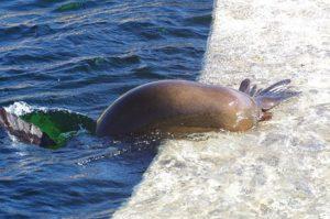 Otarie à l'espace aquatique du zoo de Peaugres