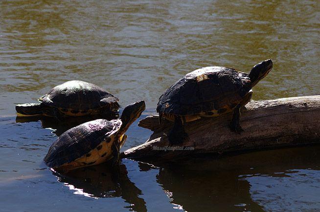 Tortues dans un bassin en face du manoir au zoo de Peaugres.