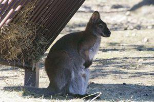 Wallaby de Bennett - Zoo de Peaugres