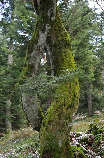 Troncs d'arbre enlacés dans la montée du Saut du Gier