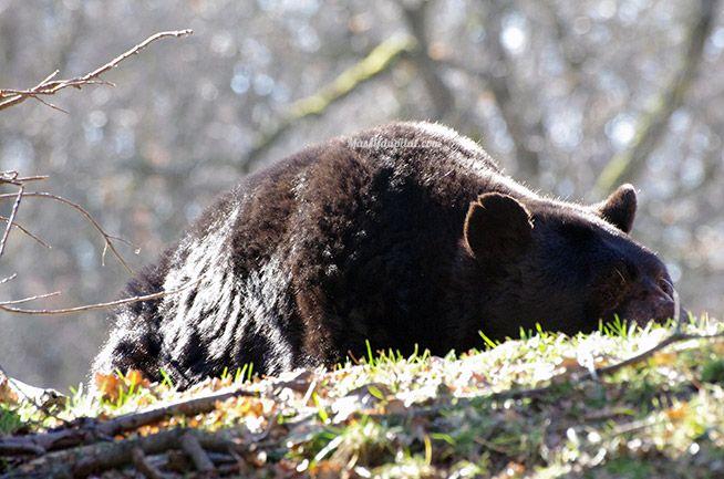 Ours brun d'Amérique - Parc du Safari de Peaugres