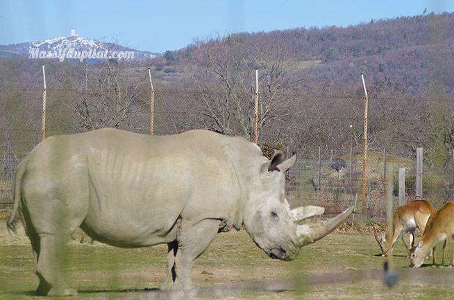 Rhinocéros dans le zoo de Peaugres côté Safari voiture