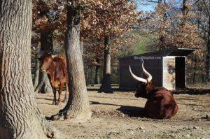 Watussi - Zoo de Peaugres
