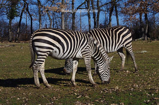 Zèbre dans le zoo du Peaugres du côté du safari voiture