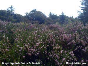Bruyères en fleur au Crêt de la Perdrix