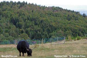 Highland Cattle noire à La Ferme du Prince, lieu dit le Vernay à Colombier dans le Pialt