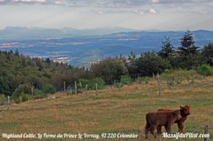 Veaux de race Highland Cattle à La Ferme du Prince - Colombier - Massif du Pilat