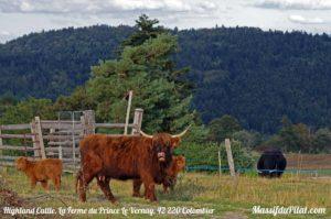 Vache écossaise Highland Cattle de La Ferme du Prince du Vernay à Colombier dans le Pilat (42 220)