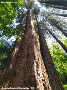 Séquoias Géants à Rochetaillée dans le Pilat près du barrage du Gouffre d'Enfer