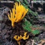 Champignon jaune orangé sous forme de fil, appelé Calocère Visqueuse, dans la forêt du Grand Bois le long du sentier de la découverte