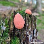 Champignon rouge sous forme de boules accrochées à une souche d'arbre dans le Grand Bois du Pilat