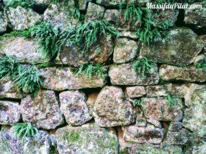Fougères poussant dans un mur en pierres
