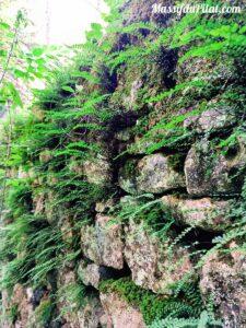 Fougère poussant entre les pierres d'un mur dans le Massif du Pilat