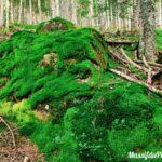 Mousse végétale sur une grosse pierre dans la forêt du Grand Bois du Pilat