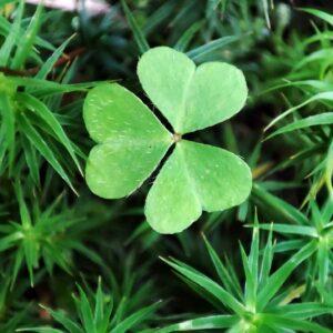 Trèfle vert à trois feuilles